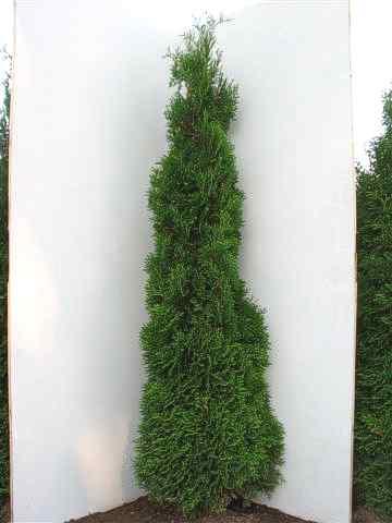 50 thuja smaragd 80 100 cm 21 heckenpflanzen lebensbaum. Black Bedroom Furniture Sets. Home Design Ideas
