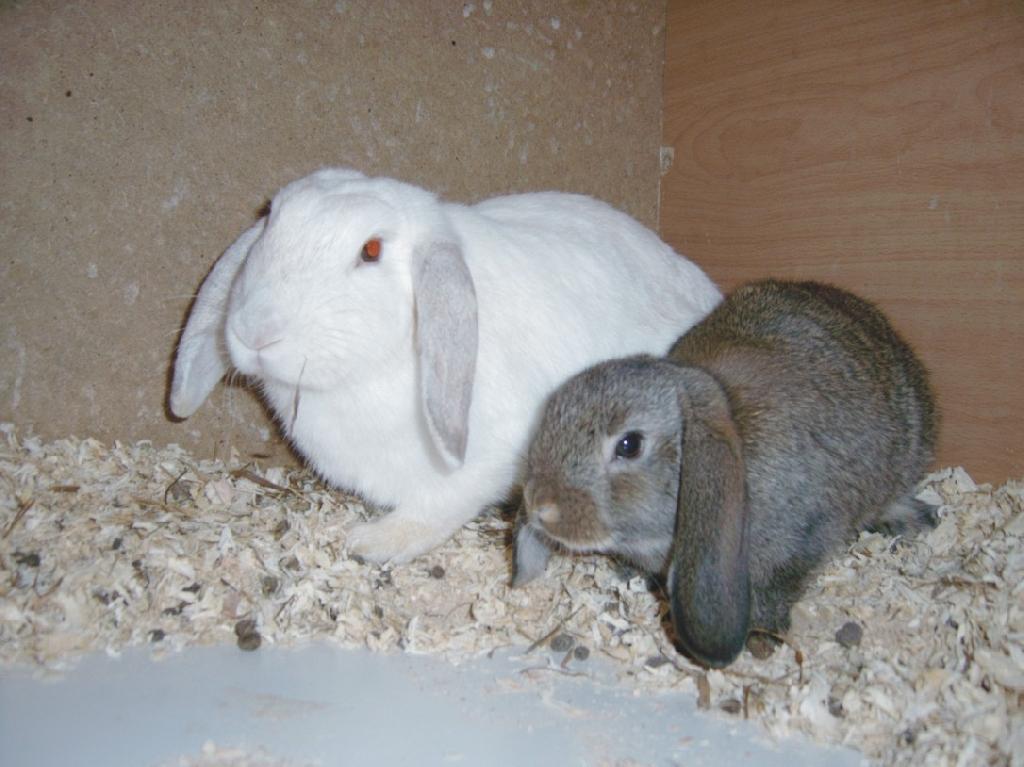 Kleinanzeigen hasen kaninchen seite 6 for Japaner kaiserslautern