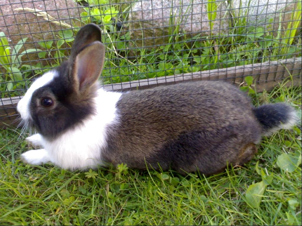 kleinanzeigen hasen kaninchen seite 35. Black Bedroom Furniture Sets. Home Design Ideas