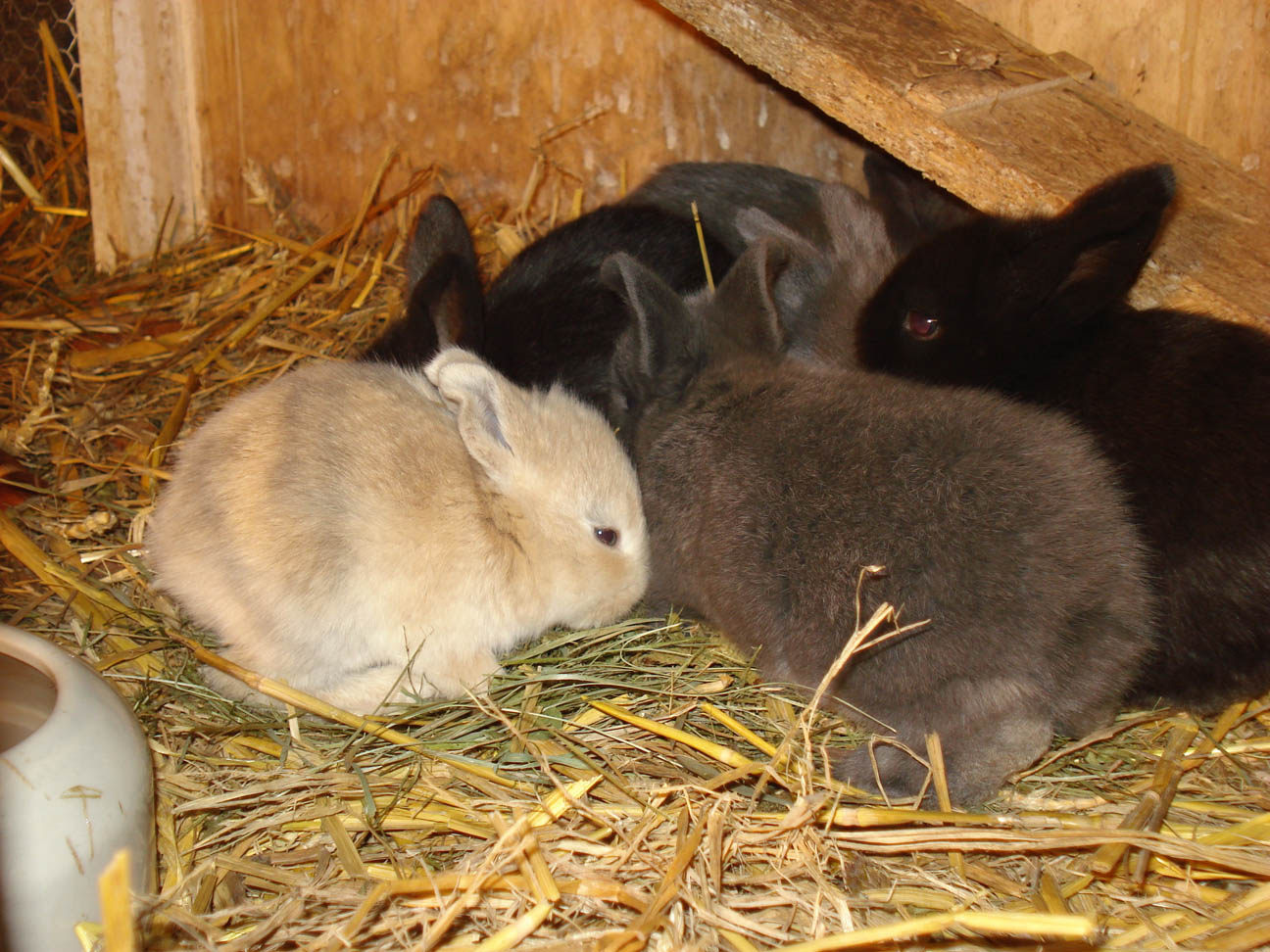 kleinanzeigen hasen kaninchen seite 6. Black Bedroom Furniture Sets. Home Design Ideas