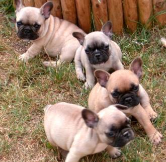 kleinanzeigen franzoesische bulldoggen welpen black maedchen junge