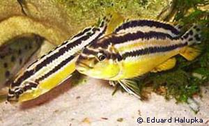 Selten malawi buntbarsch melanochromis auratus in for Malawi buntbarsch