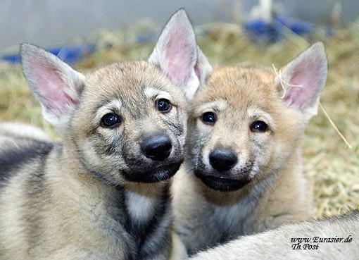 tschechoslowakischer wolfshund welpen in steinfurt tiere kleinanzeigen. Black Bedroom Furniture Sets. Home Design Ideas