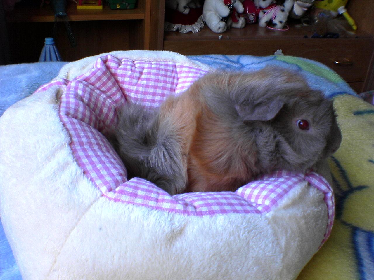 kleinanzeigen meerschweinchen seite 8. Black Bedroom Furniture Sets. Home Design Ideas