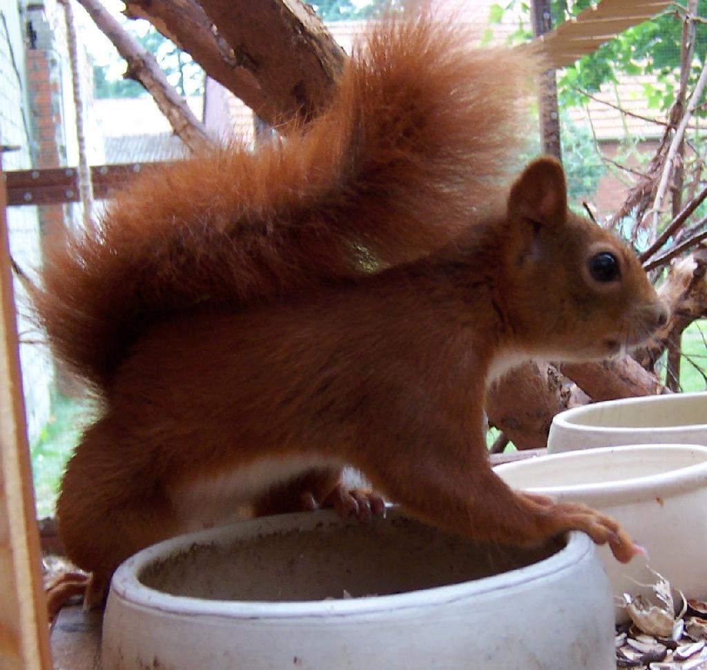 Eichhörnchen Zahm