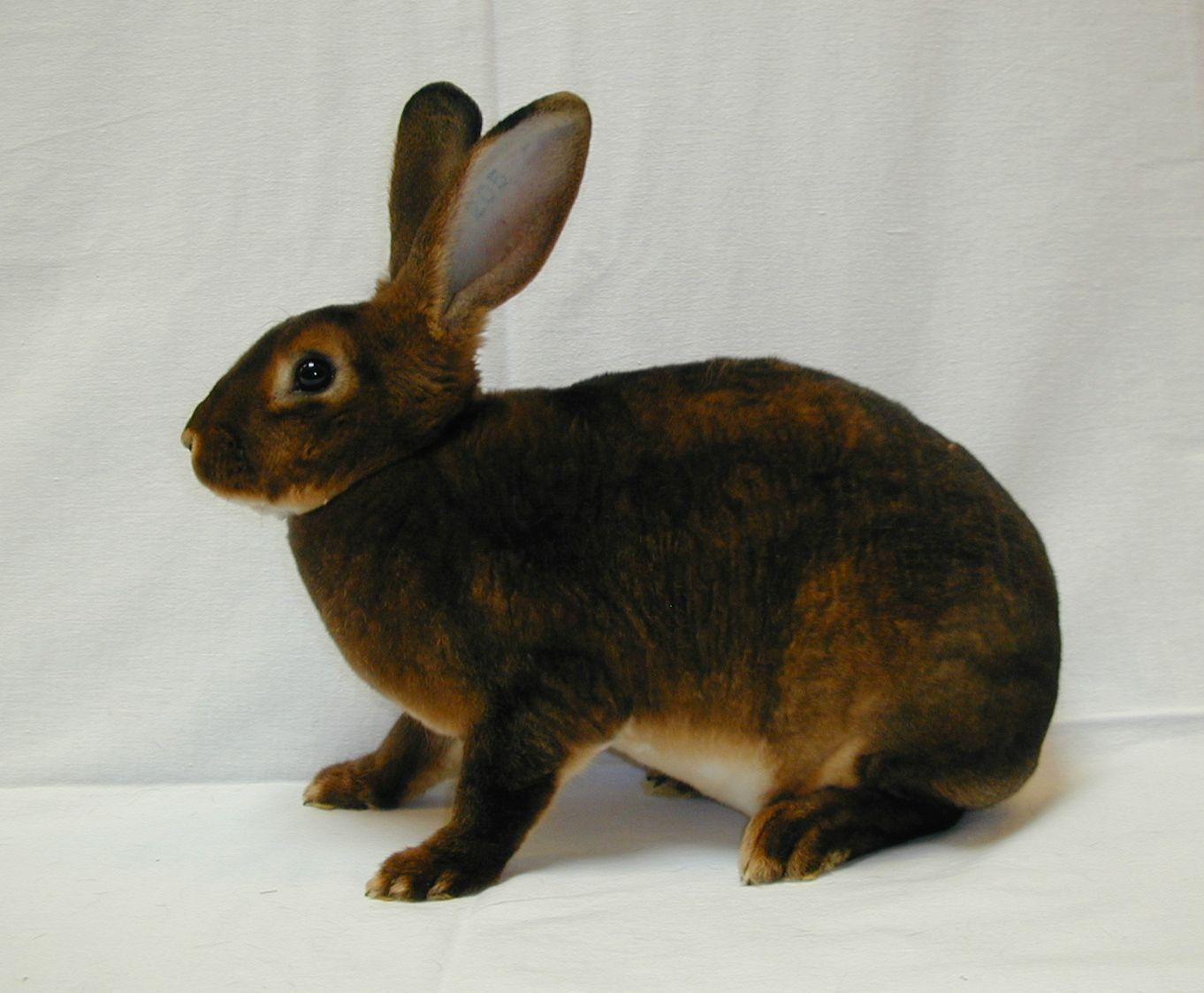 kleinanzeigen hasen kaninchen seite 7. Black Bedroom Furniture Sets. Home Design Ideas