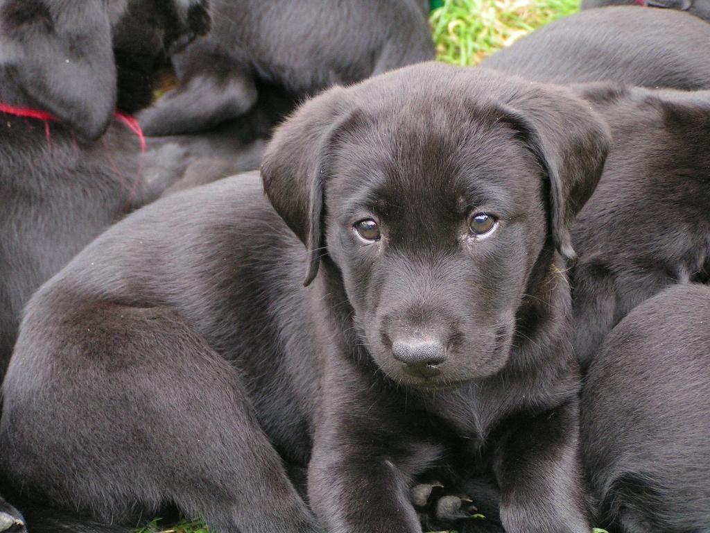 Labrador Welpen Kaufen Hessen