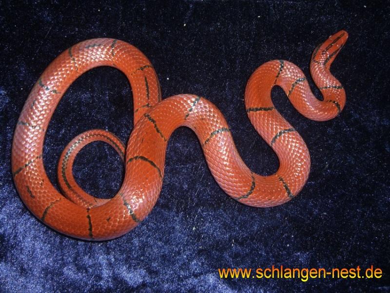 Bambusnatter Spitzkopfnatter In Augsburg Tiere Kleinanzeigen