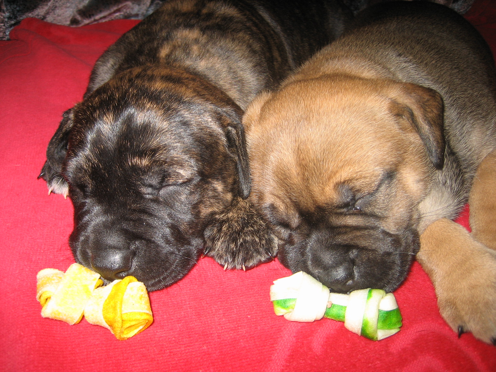 American Staffordshire Terrier Rottweiler Labrador Mix Welpen