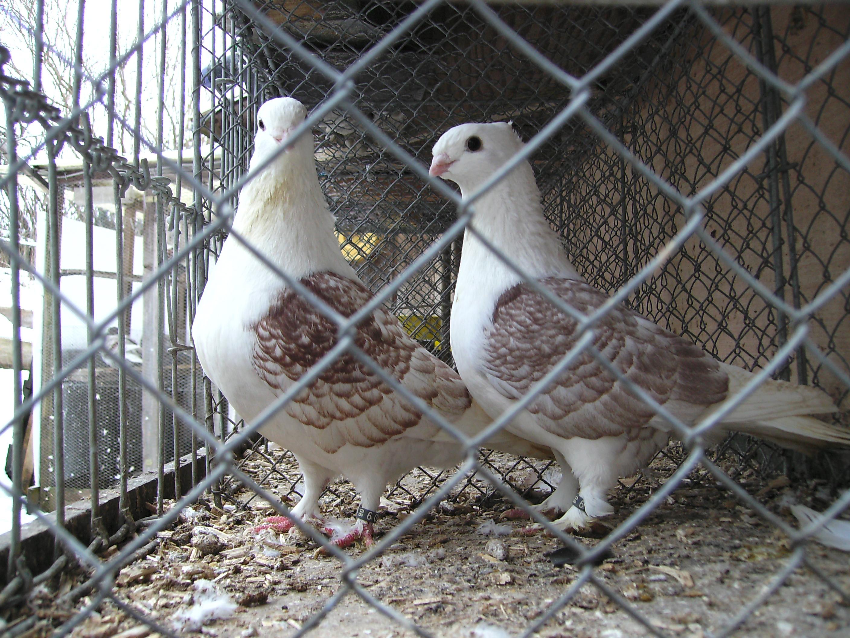 Tauben Kleinanzeigen