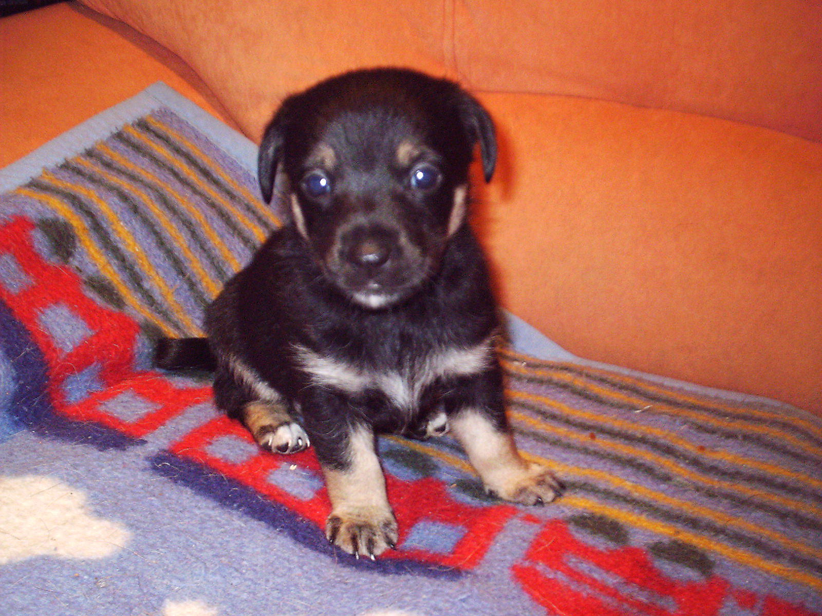 Jack Russel Terrier Mix Welpen In Berlin Tiere Kleinanzeigen