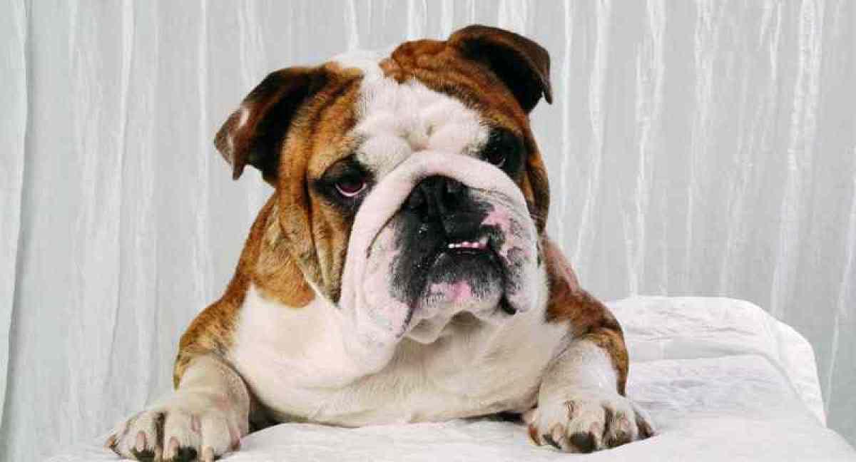 englisch bulldog zucht hat noch welpen abzugeben in. Black Bedroom Furniture Sets. Home Design Ideas