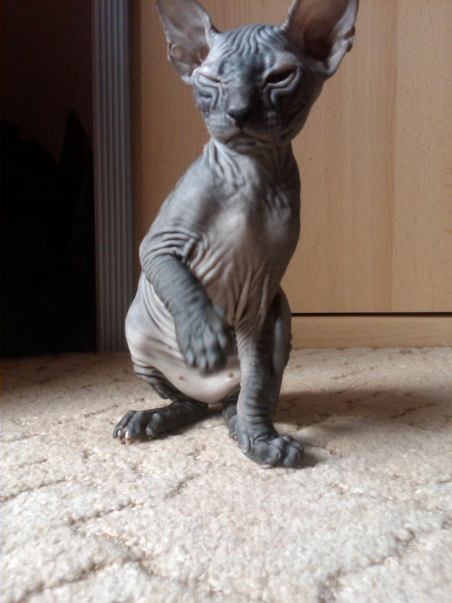Edel Nackt Katzen zu Verkaufen in Dresden   Tiere