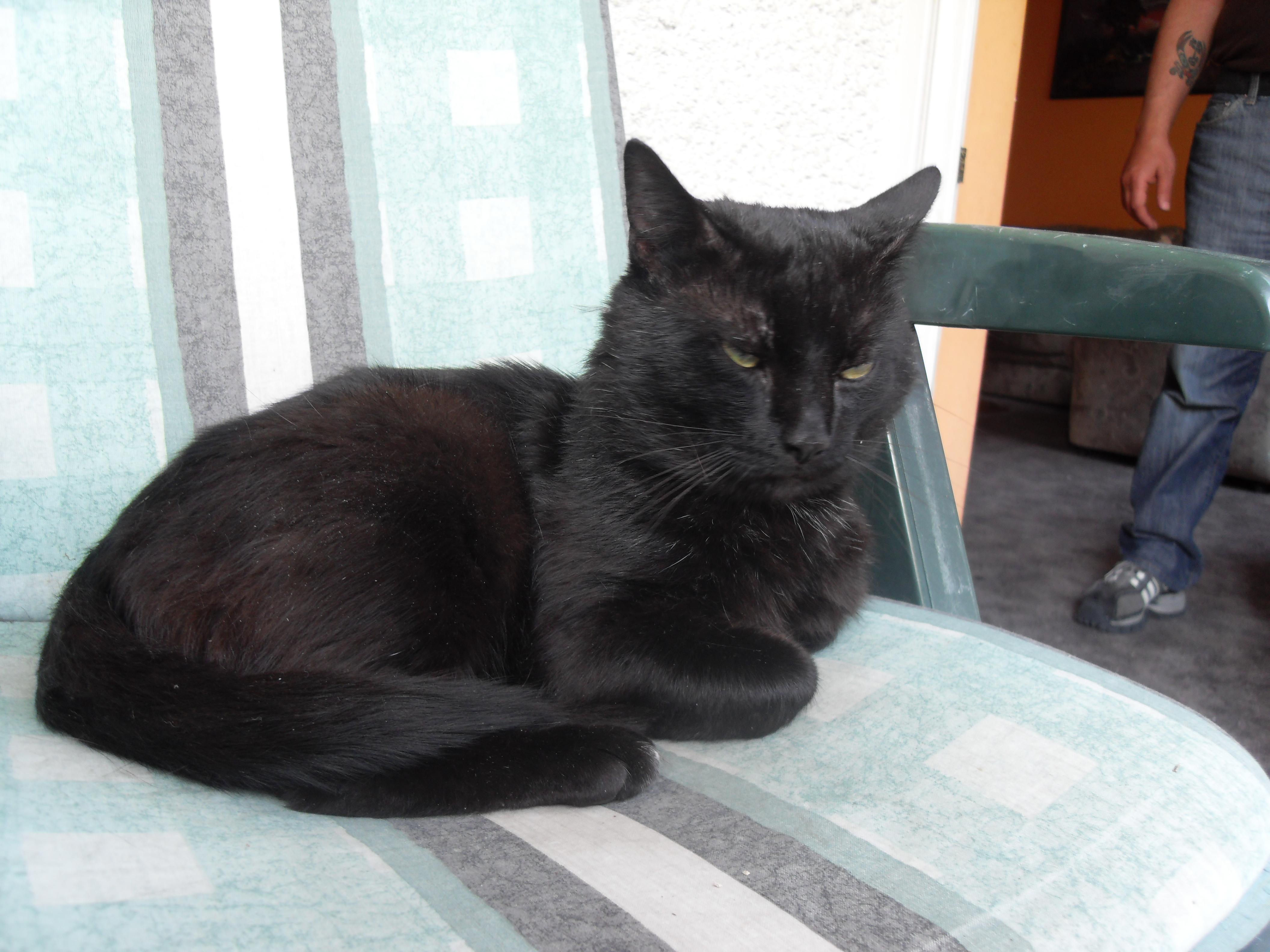 Liebvolle Süße Schöne Schwarze Katze Zu Verschenken Gerade