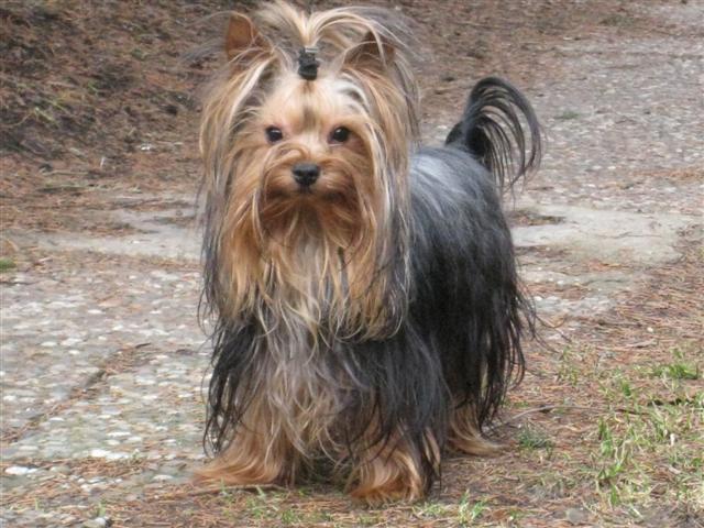 hunde yorkshire terrier welpen kaufen