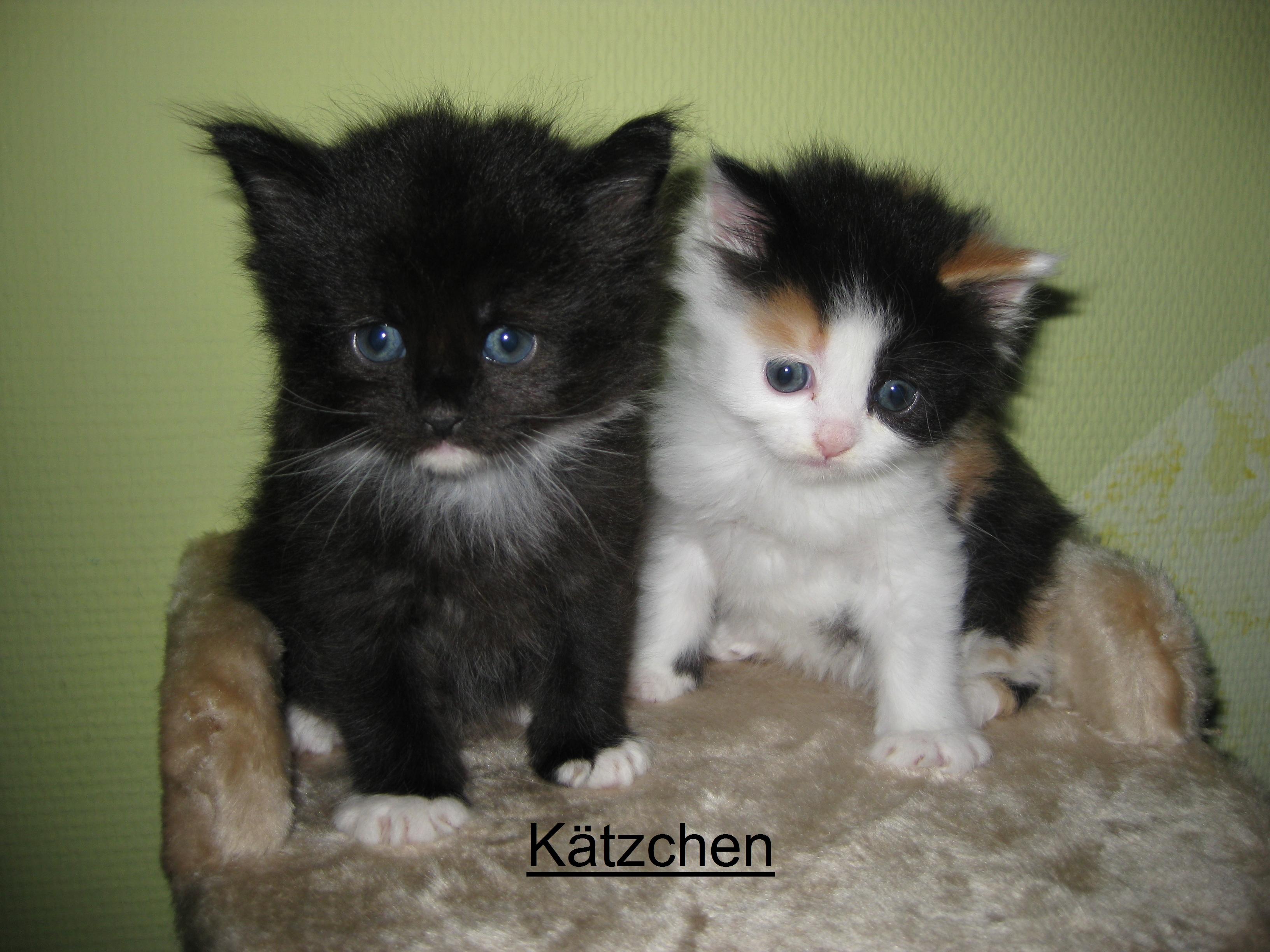 Main coon mix kitten duisburg