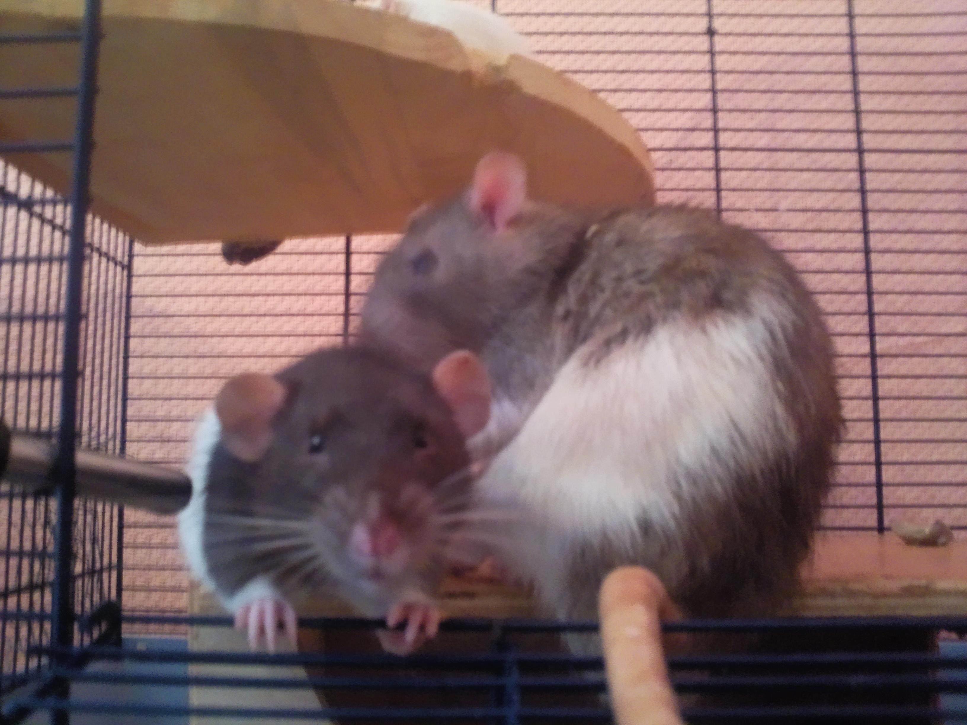 meerschweinchen gegen ratten maqi f r tierrechte gegen speziesismus die etwas andere. Black Bedroom Furniture Sets. Home Design Ideas