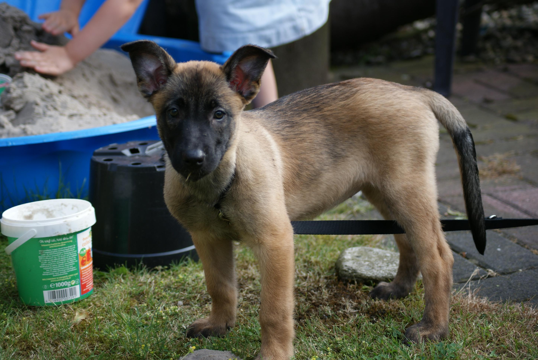 10 wochen alte malinoisbelgischer schäferhund hündin abzugeben