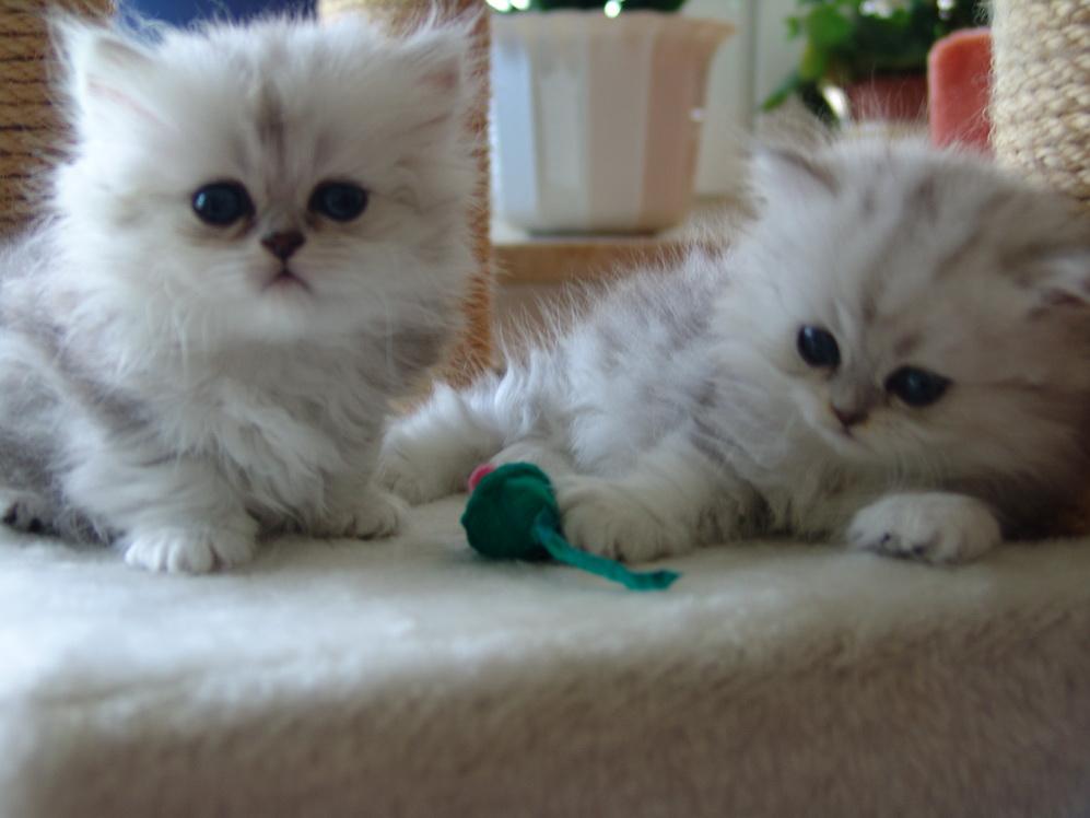 Perserkitten Vom Zuchter Europaische Perser In Germering Tiere Kleinanzeigen