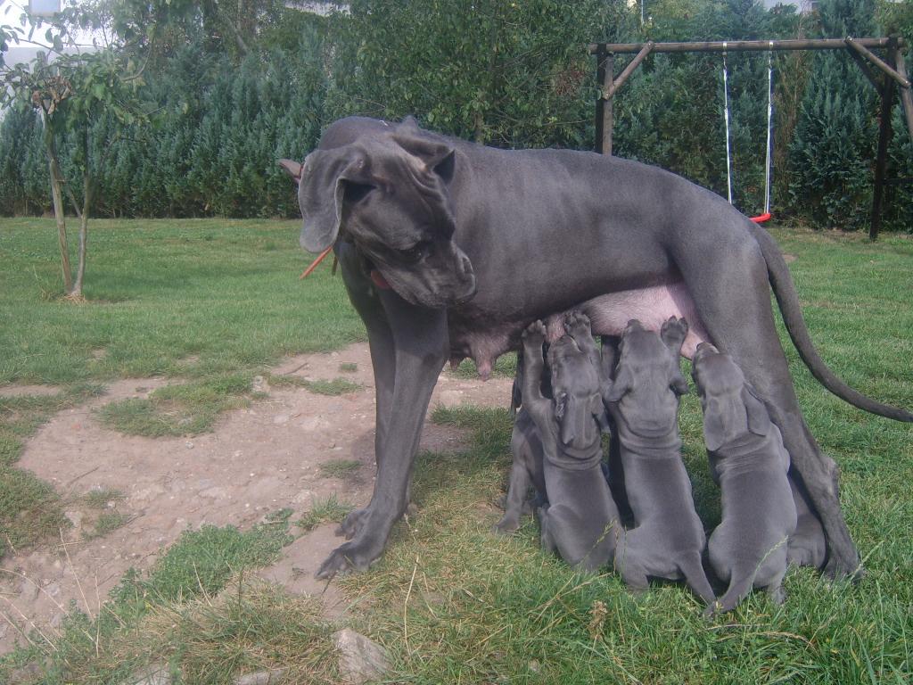 Deutsche dogge grau preis