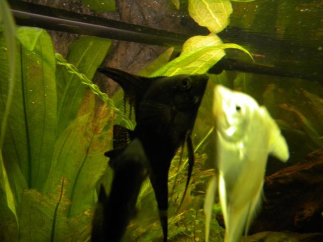 Sch ne gro e skalare in bad lauterberg tiere kleinanzeigen for Skalare zucht