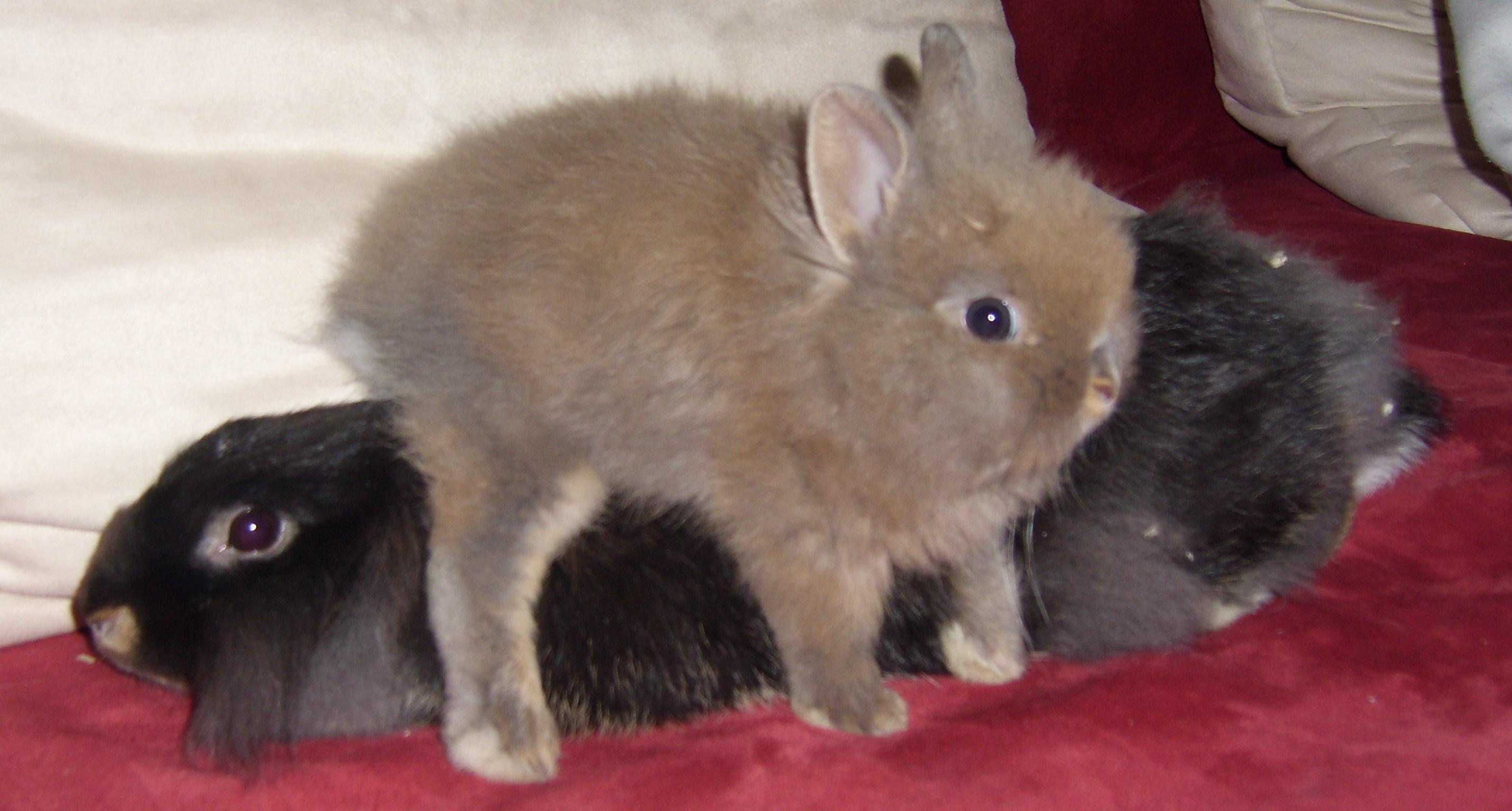 kleinanzeigen hasen kaninchen seite 9. Black Bedroom Furniture Sets. Home Design Ideas