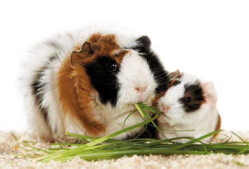 s e meerschweinchen babys abzugeben www meerschweinchen. Black Bedroom Furniture Sets. Home Design Ideas