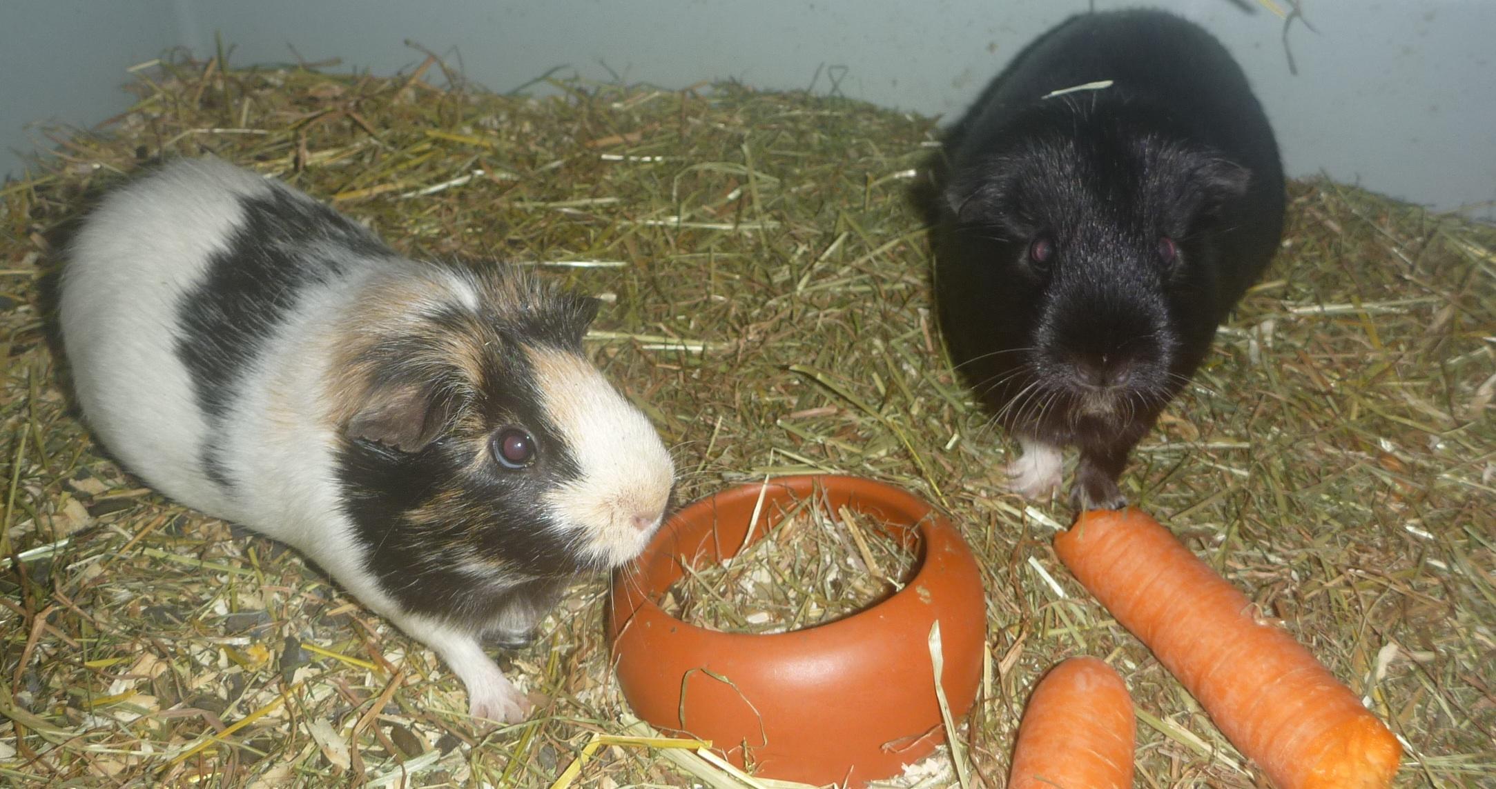 kleinanzeigen meerschweinchen seite 2. Black Bedroom Furniture Sets. Home Design Ideas