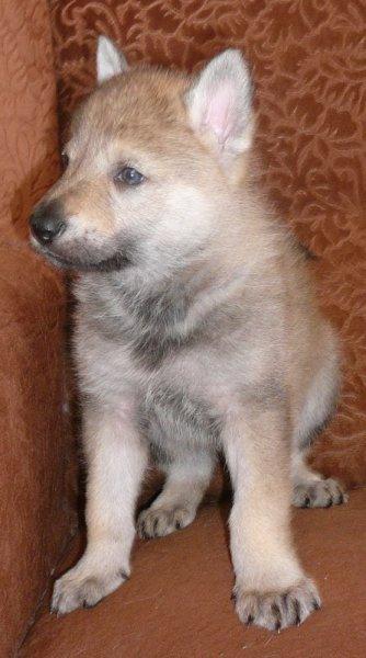Tschechischer Wolfshund Kaufen