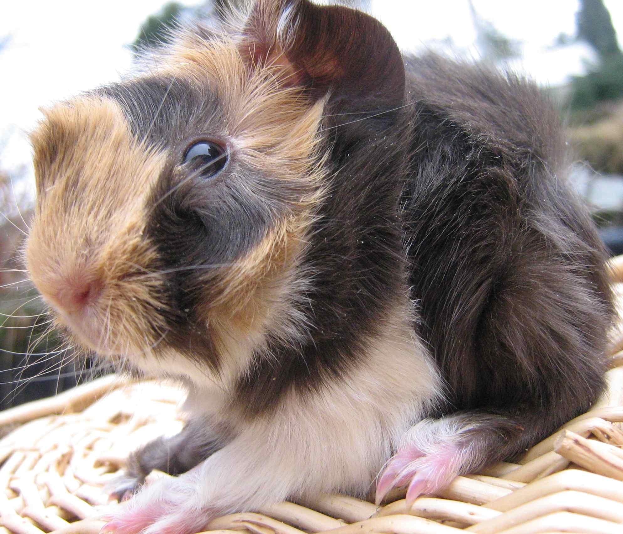 meerschweinchen babys abzugeben in remagen tiere kleinanzeigen. Black Bedroom Furniture Sets. Home Design Ideas