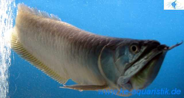 Leopoldirochen qualit tsrochen rochen leopoldi in diera for Was fressen teichfische