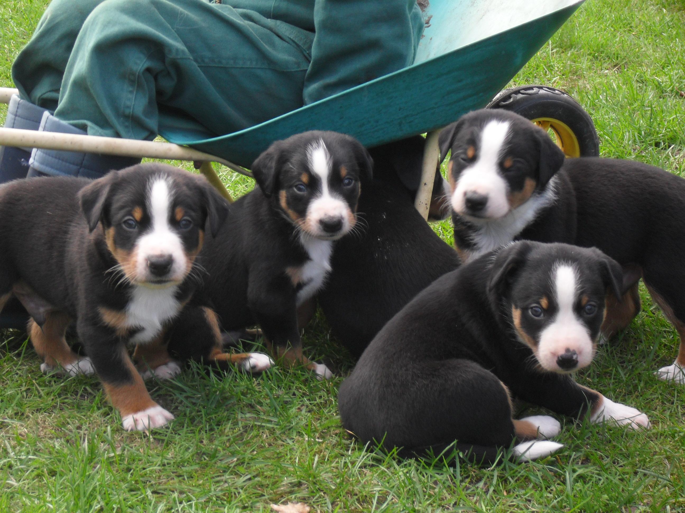 Sooo süsse Appenzeller Sennenhund Welpen zu verkaufen in