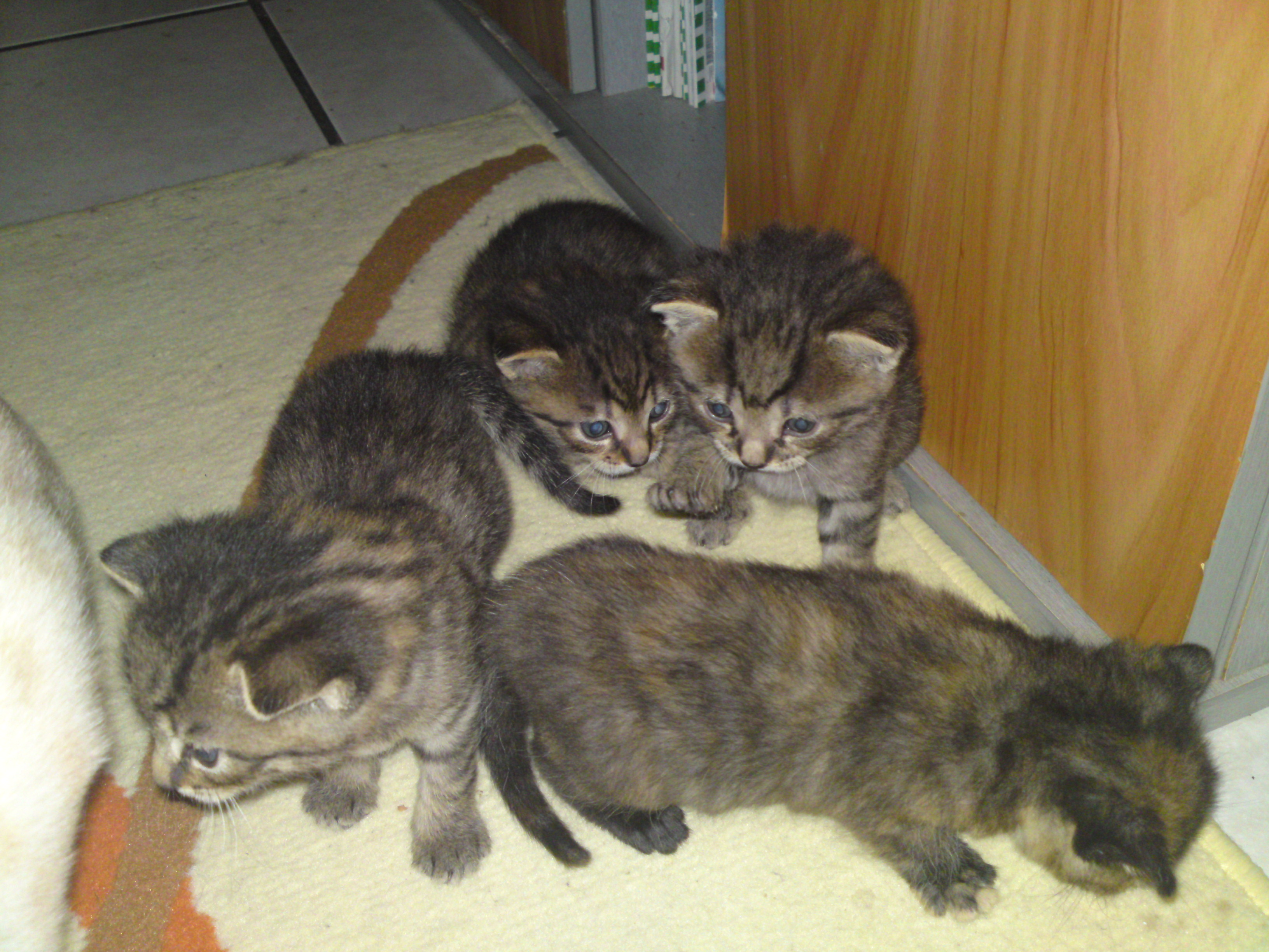Bengal mix kittens