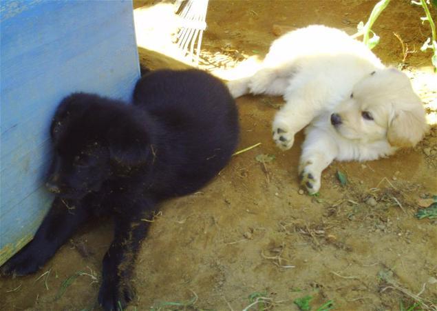 Welpen Mix Labrador Schaferhund In Reken Tiere Kleinanzeigen