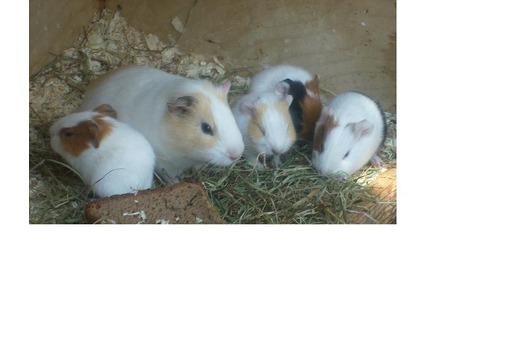 süsse meerschweinchen zu verschenken dringend hallo wir verschenken