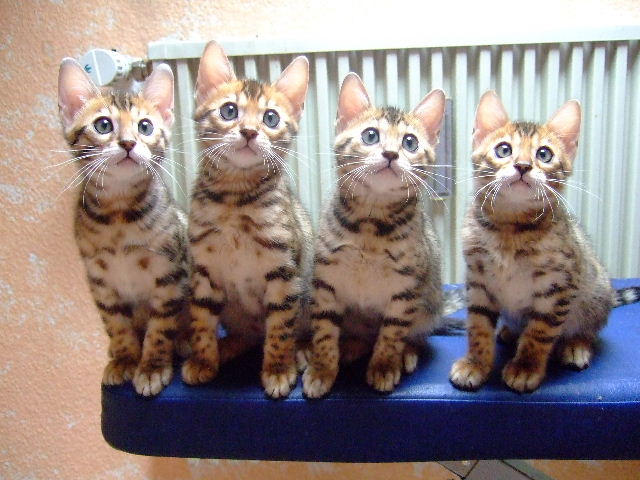 Bengal Kätzchen Zu verschenken in Krefeld  Tiere  Kleinanzeigen
