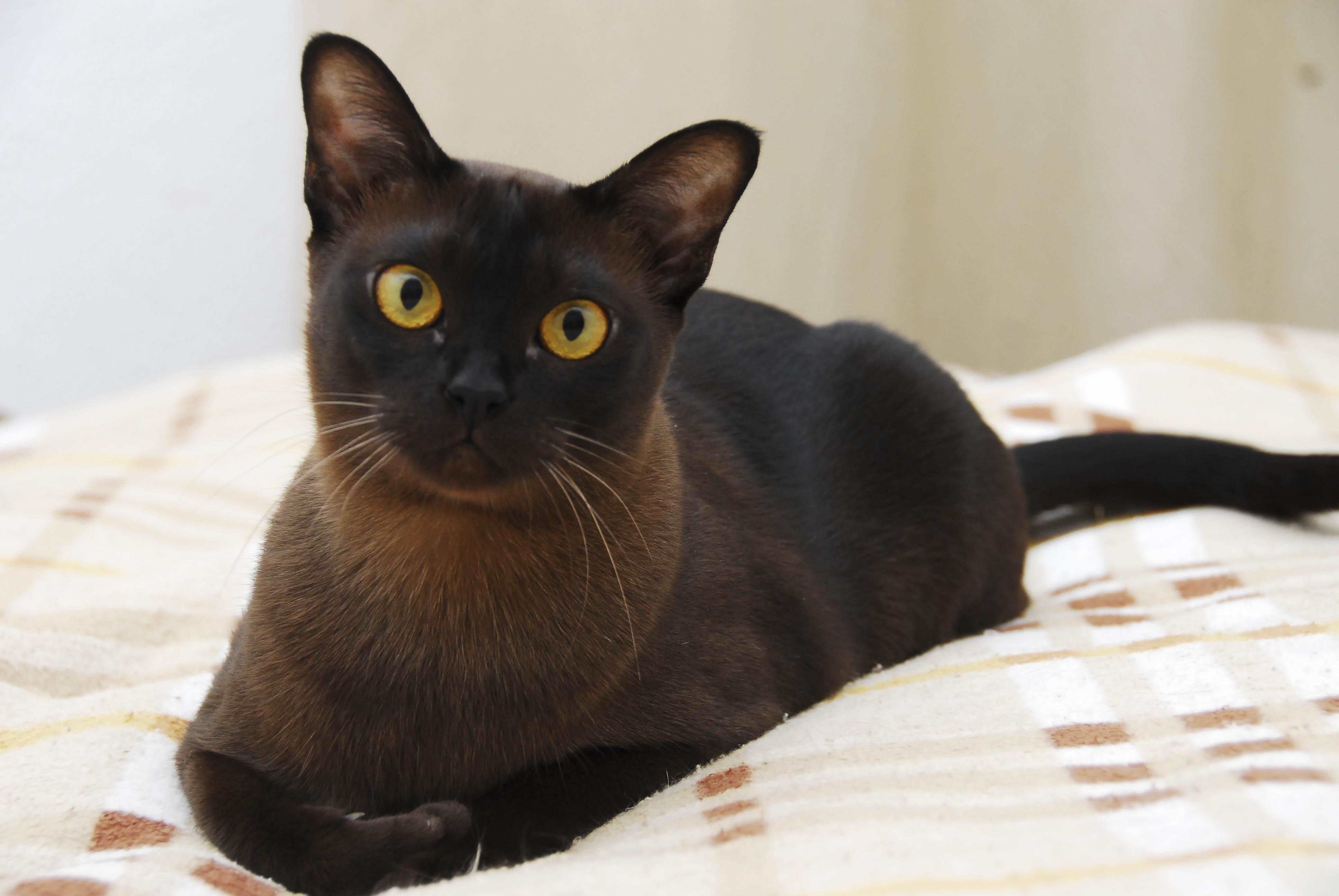 Black Bengal Cat Pictures