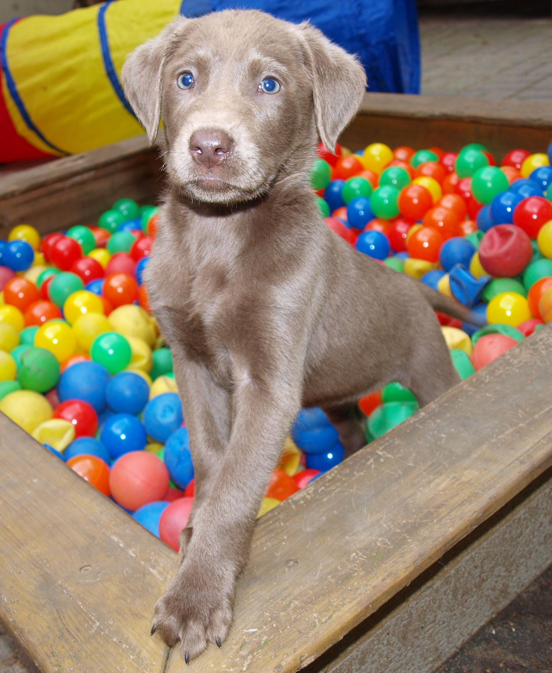Seltene Silberne Labrador Welpen Haben Ihre Kofferchen Gepackt In