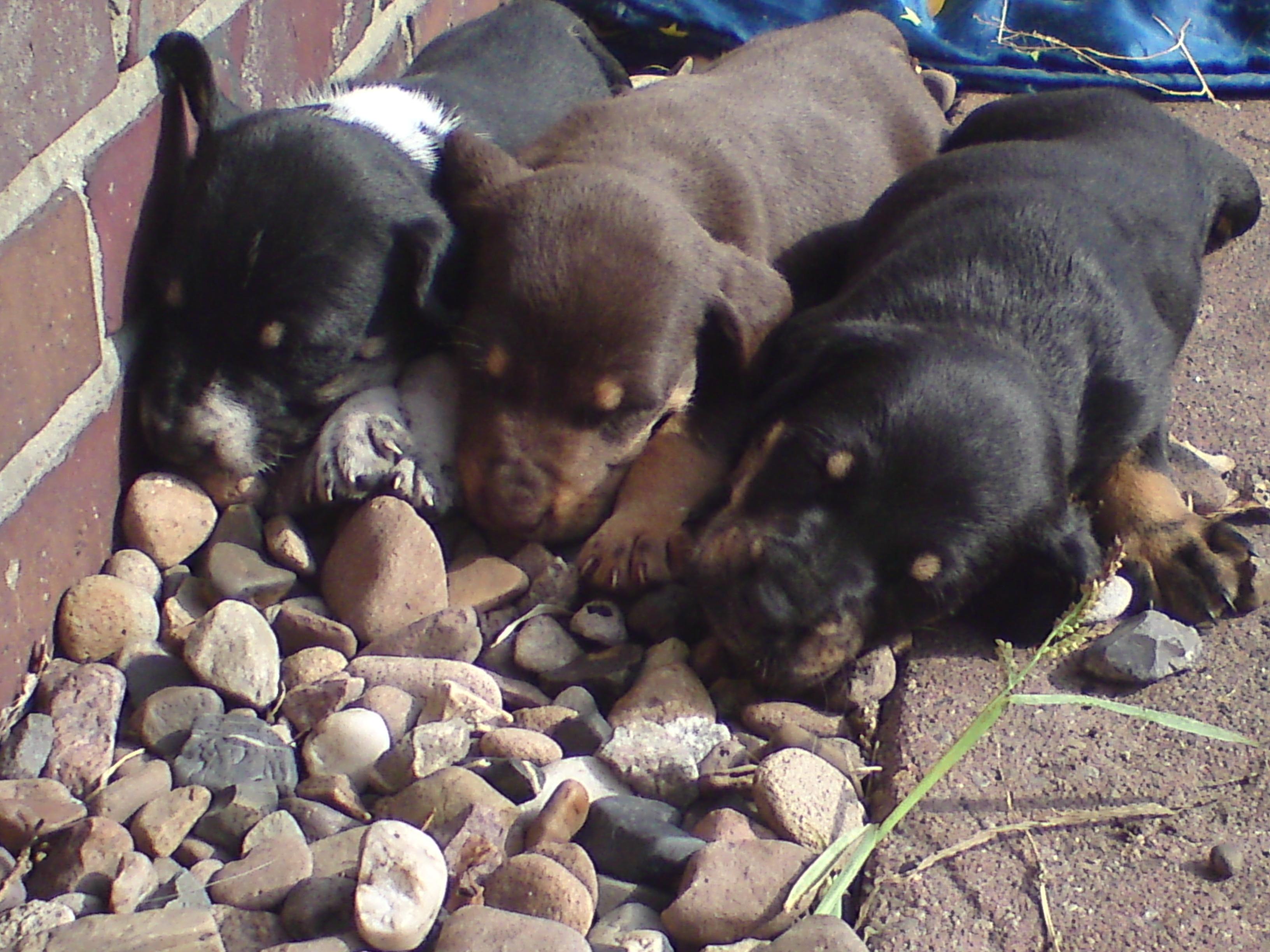 Teakholz Gartenmobel Wachsen : welpen 8wochen jung zu verkaufen hallo ich habe 5 kleine welpen zu