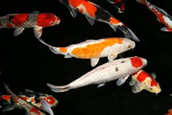 Kleinanzeigen fische seite 1 for Teichfische algenfresser