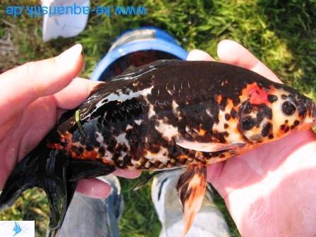 Biotop teichfische koikarpfen direkt vom z chter in soyen for Kleine teichfische