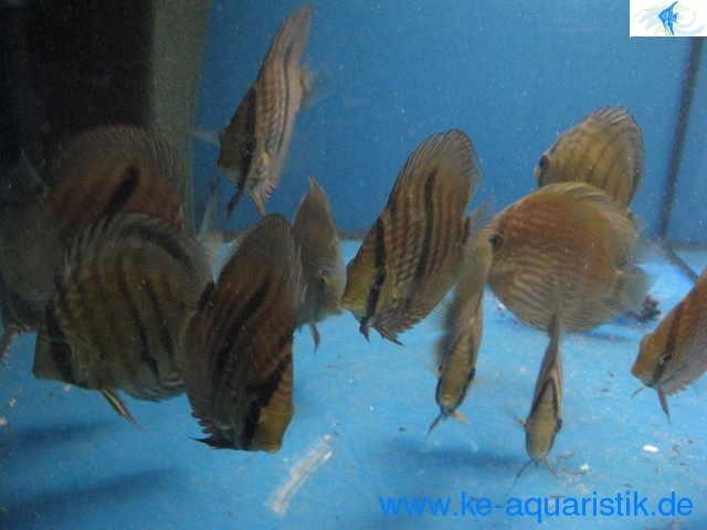 Biotop teichfische koikarpfen direkt vom z chter in soyen for Seltene zierfische