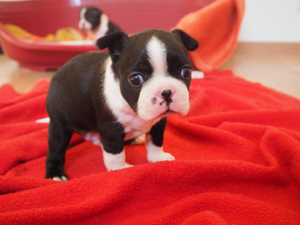 Boston Terrier Rude Welpe Zum Verkauf In Frankfurt Am Main Tiere Kleinanzeigen