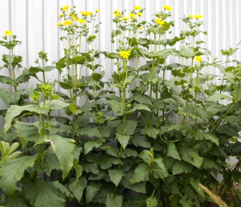 Bienenweide Silphie SAMEN mehrjährige und winterharte