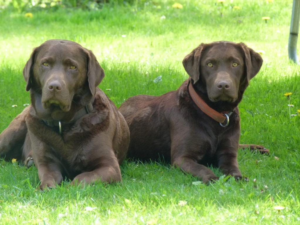 Labrador Retriever Welpen In Choco In Lemgow Schletau Tiere Kleinanzeigen