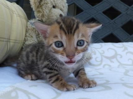 cat roar sound