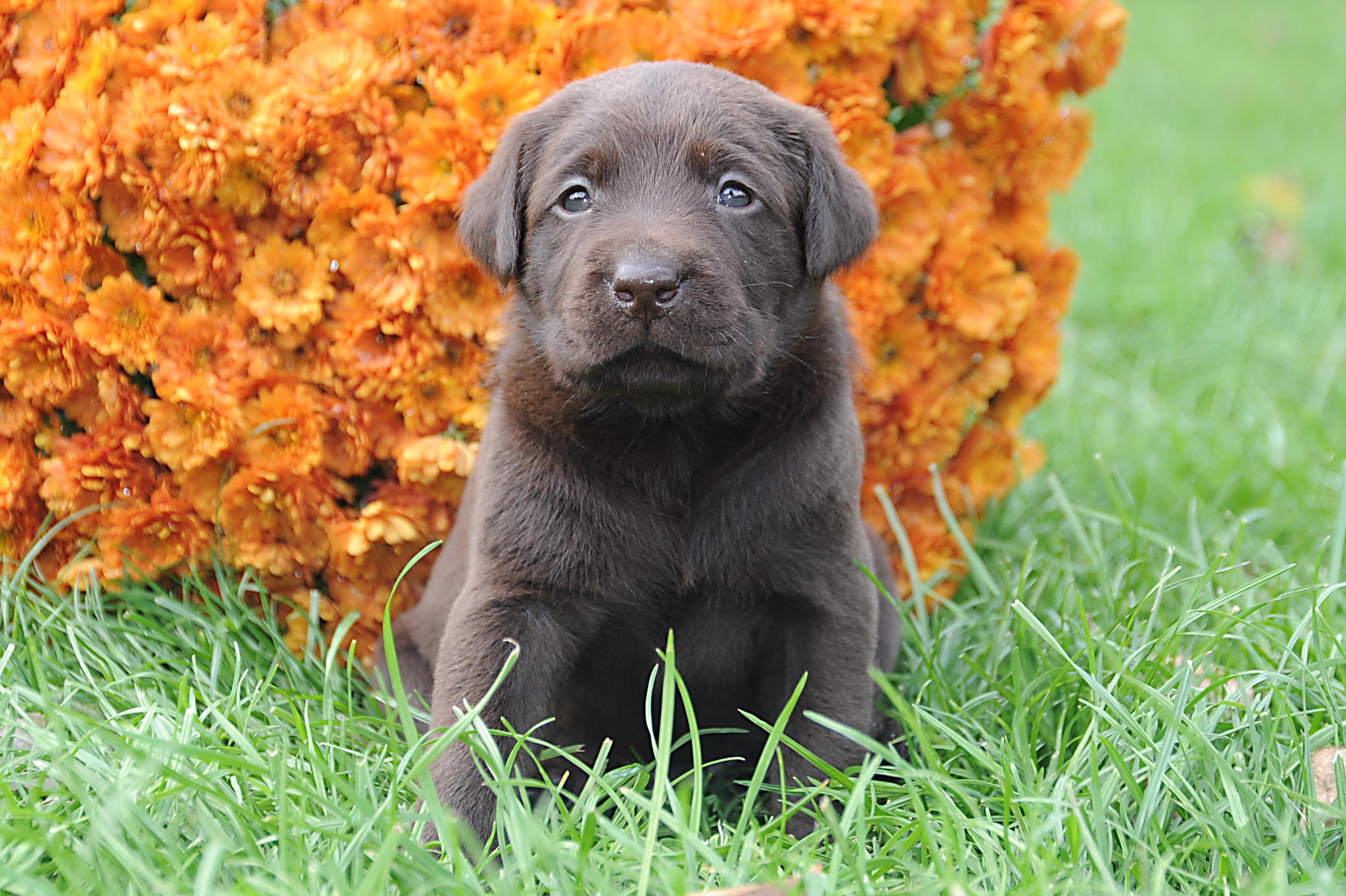 Braune Labradore