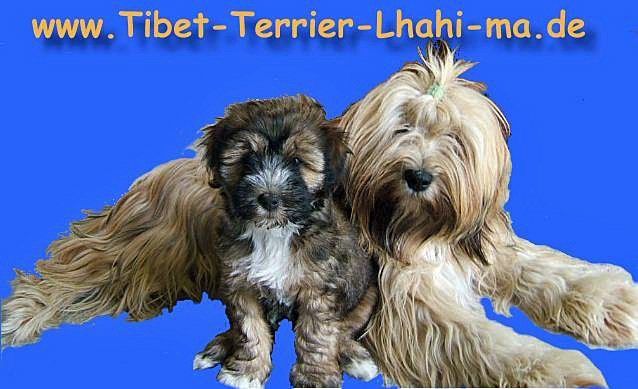 tibet terrier welpen aus berlin brandenburg in zobel in k nigshorst tiere kleinanzeigen. Black Bedroom Furniture Sets. Home Design Ideas