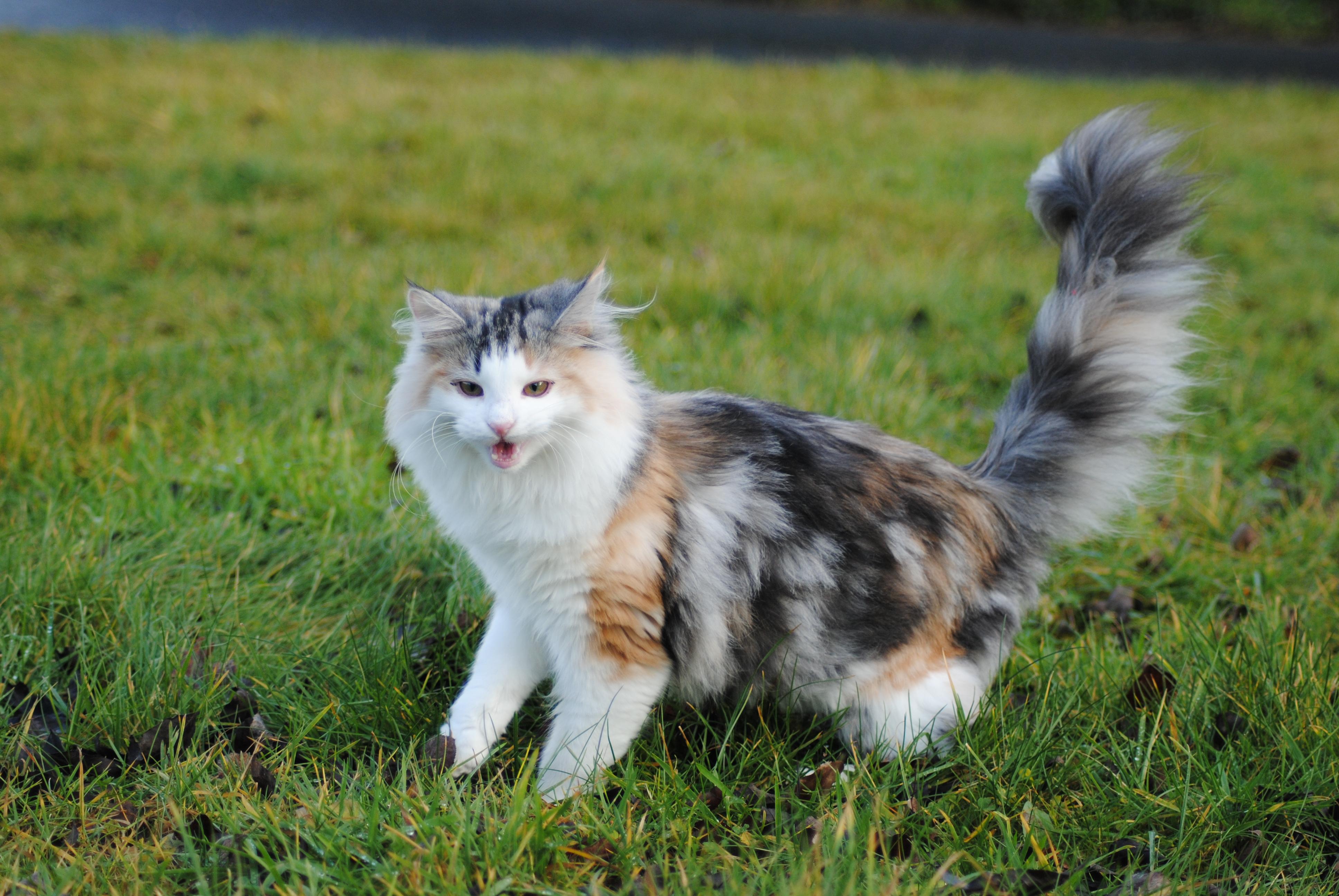 Norwegische Waldkatze Ausgewachsen Norwegische Waldkatze Sucht