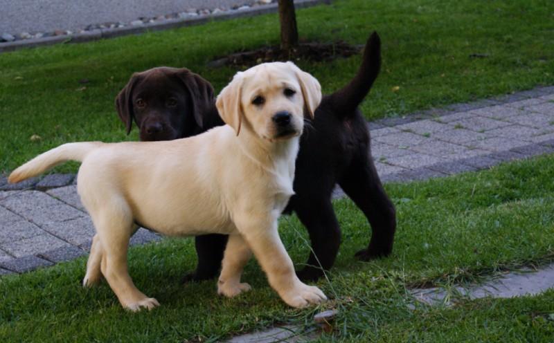 Labrador Welpen Braun Und Choco Zu Verkaufen In Wustermark Tiere Kleinanzeigen
